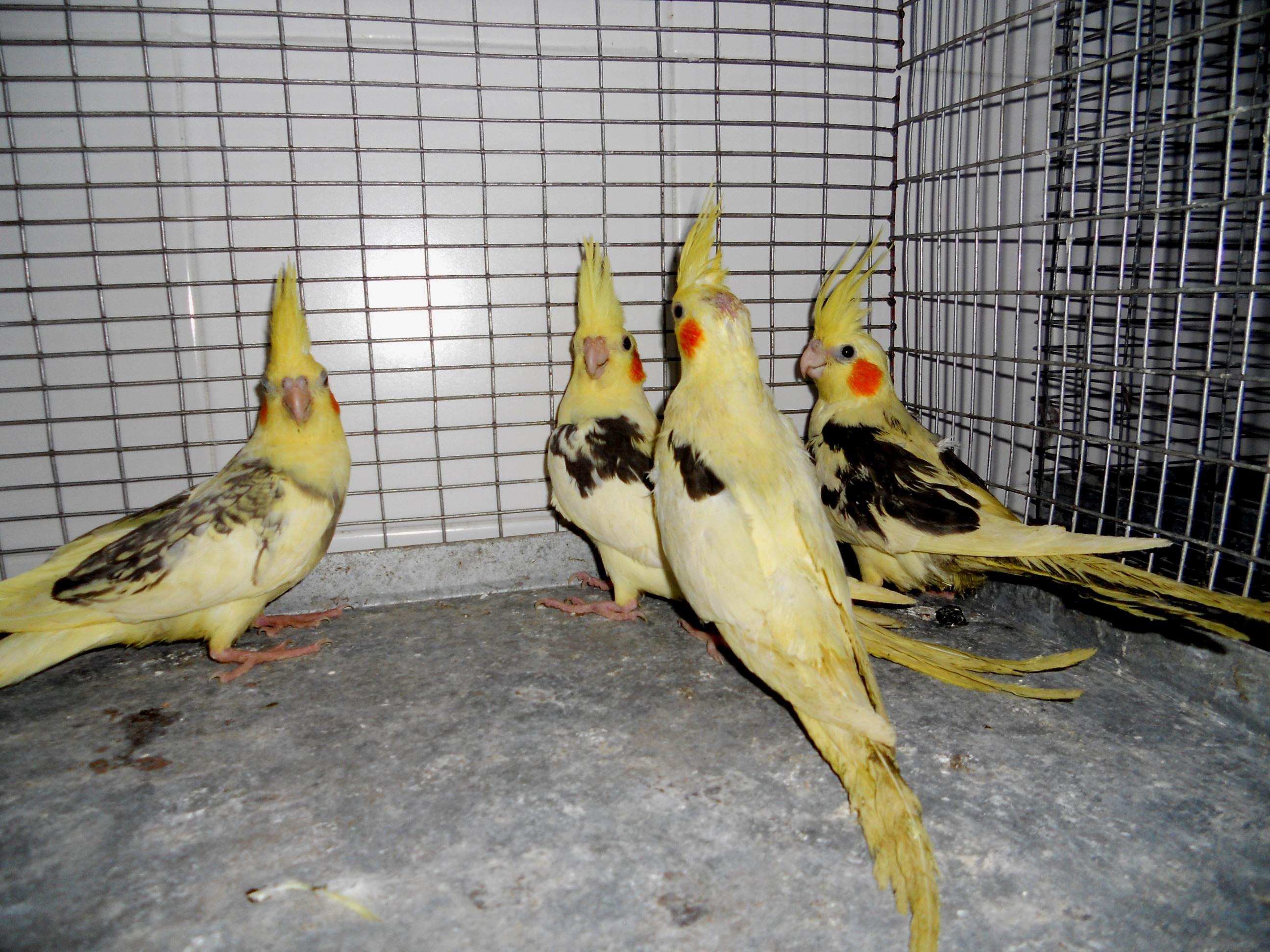 Задържаха папагали на границата, в Турция си ги подарявали влюбените