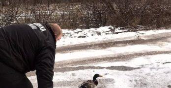 Бедстваща дива патица бе спасена от измръзване