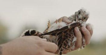 Спасиха млада белошипа ветрушка край Левка, Свиленградско