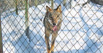 Вълк избяга от хасковския зоопарк, надхитрил пазача си